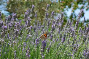 lavender-822534_640